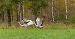 Family of sandhill cranes taking flight in northern Wisconsin.