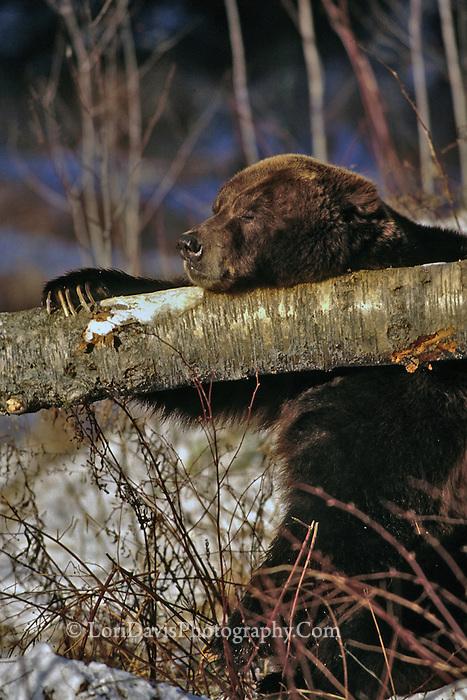 Grizzly Bear Asleep on Fallen Tree  #W2