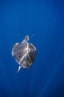green sea turtle, Chelonia mydas, hooked on long line, Cocos Island, Costa Rica. Pacific Ocean