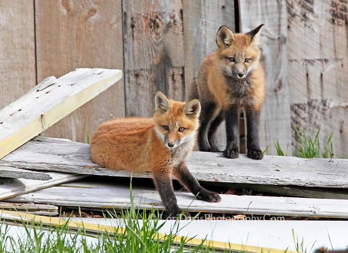 Two red fox kits outside barn