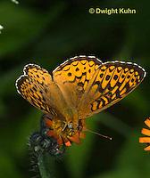 LE25-500z  Atlantis Fritillary Butterfly, Speyeria atlantis