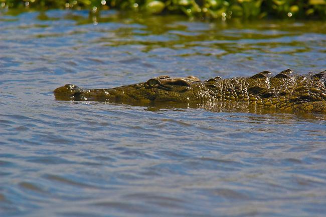Nile Crocodile, Shire River, Malawi