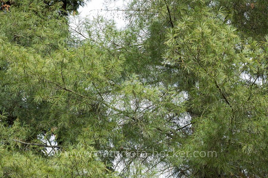 Weymouthkiefer, Weymouth-Kiefer, Weymouthskiefer, Weymouths-Kiefer, Strobe, Pinus strobus, eastern white pine, northern white pine, white pine, Weymouth pine, soft pine, Le Pin blanc, le Pin du Lord, le Pin de Weymouth