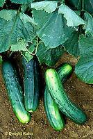 HS36-018z  Cucumber- Marketmore variety