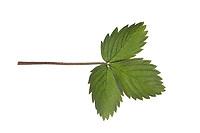 Wald-Erdbeere, Walderdbeere, Erdbeere, Fragaria vesca, wild strawberry, woodland strawberry, Alpine strawberry, European strawberry, fraises des bois. Blatt, Blätter, leaf, leaves