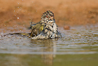 578840055 olive sparrow arremonops rufivirgatus bathes in a small pond on laguna seca ranch near edinburg texas united states