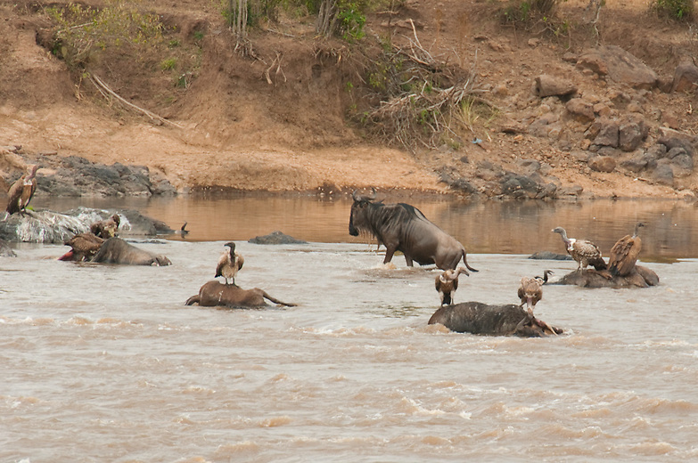 Before crossing a crocodile infested river like the Mara gnu tend to take much time. They may even mass near or towards the river bank and attempt to cross several times before failing. There does not seem to be synchrony in the way they cross, any of the animals can take the initiative to cross first, even a very young calf can lead the way. The herd will then come jumping in, in a panic to cross to the opposite bank as fast as possible as they try to avoid being taken by a crocodile.