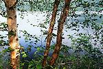 Paper birch and Byers Lake, Denali State Park, Alaska