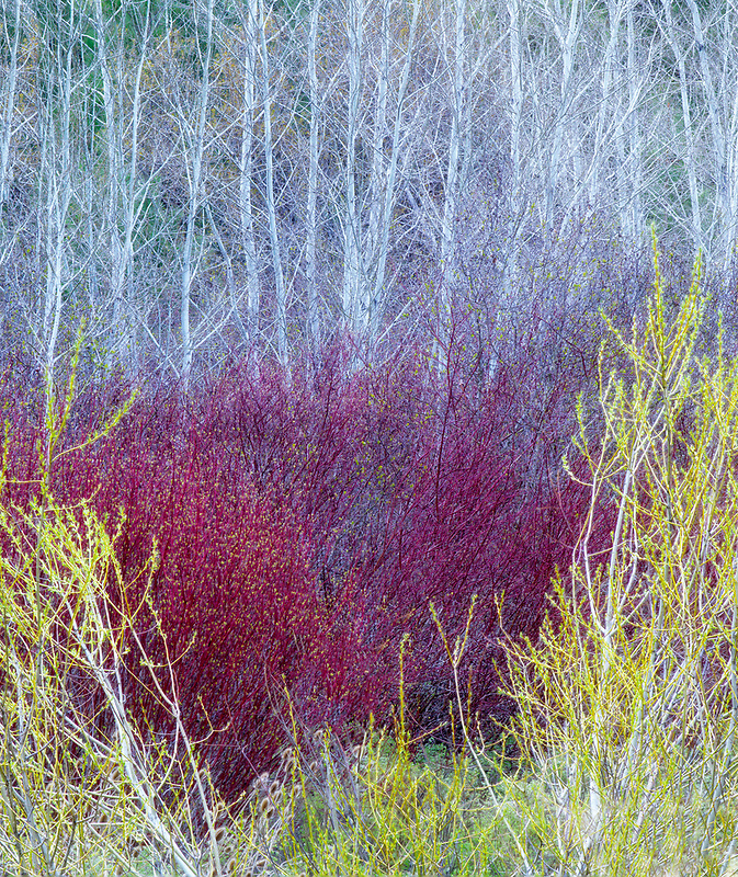 Willows in early spring with aspen trees. . Near John Day, Oregon