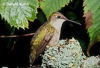 HU10-099x  Ruby-throated Hummingbird - female incubating young -  Archilochus colubris