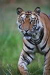 Male Bengal tiger (Panthera tigris) walking in green meadow, close-up, dry season, April