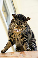 domestic cat on roof joist snarling, Germany