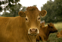 Commercial breed cow close up, Missouri, USA