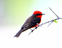 Adult male vermilion flycatcher