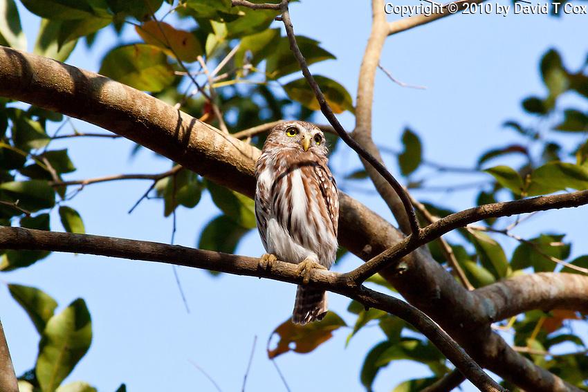 Central American Pygmy Owl, El Remate, Peten, Guatemala