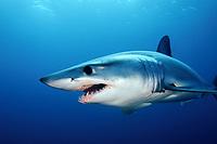 shortfin mako shark, Isurus oxyrinchus, La Jolla, San Diego, California, USA, Pacific Ocean