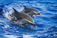 Mother and calf pantropical spotted dolphins (Stenella attenuata) jumping out of a boat wake or wake-riding, Kona Coast, Big Island