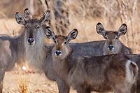 africa, Zambia, South Luangwa National Park,  Kudu female