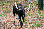 Bull moose walking towards camera full body view.