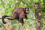 Male tufted or brown capuchin (Cebus apella) (sometimes Sapajus apella) in mid-altitude montane forest, Manu Biosphere Reserve, Peru.