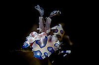 Harlequin shrimp (Hymenocera picta) eating a seastar in Lembeh / Indonesia