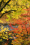 Maples in autumn, Hoh Rain Forest, Olympic National Park, Washington