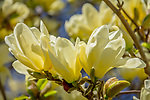 Elizabeth Magnolia blossoms at the Arnold Arboretum in the Jamaica Plain neighborhood, Boston, Massachusetts, USA