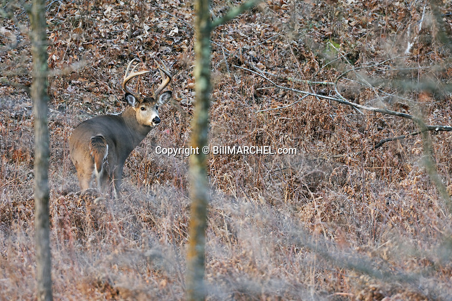 00274-315.11 White-tailed Deer Buck (DIGITAL) with tall heavy antlers in at base of oak ridge during fall.  Hunting, rut, travel.  H3A1