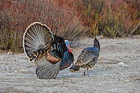 Male Wild Turkey (Meleagris gallopavo) strutting near a hen--spring mating display.  Western U.S.