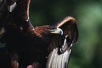 Profile portrait of a Golden eagle (A. Chrysaetos).