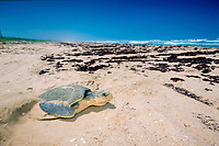 Kemp's ridley sea turtle, Lepidochelys kempii (endangered), covers nest after laying eggs, Rancho Nuevo, Mexico (Gulf of Mexico), Atlantic Ocean