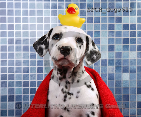 Xavier, ANIMALS, dogs, photos(SPCHdogs619,#A#) Hunde, perros