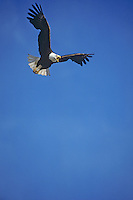 Bald Eagle (Haliaeetus leucocephalus) in flight.