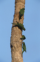 Green Parakeet, Aratinga holochlora, group on palm tree, Brownsville, Rio Grande Valley, Texas, USA, April 2001