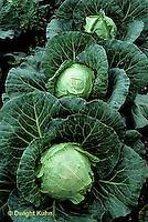 HS37-004b  Cabbage