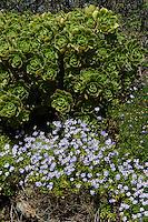 Vegetation an der Felsküste, Insel Herm, Kanalinseln