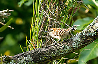 Rufous-naped Wren, Campylorhynchus rufinucha, in the gardens of the Hotel Bougainvillea, Santo Domingo de Heredia, Costa Rica