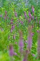 Original tallgrass prairie remnant with wands of blooming Dense Blazing Star (Liatris spicata), a species native to Eastern North America.  Liatris species are unusual because they flower from the top of the inflorescence down, rather than bottom up as in most other flowering plants.