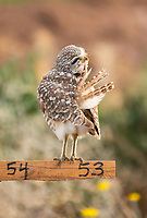 A Burrowing Owl, Athene cunicularia, preens its feathers while perching on a nest site marker in Zanjero Park, Gilbert, Arizona