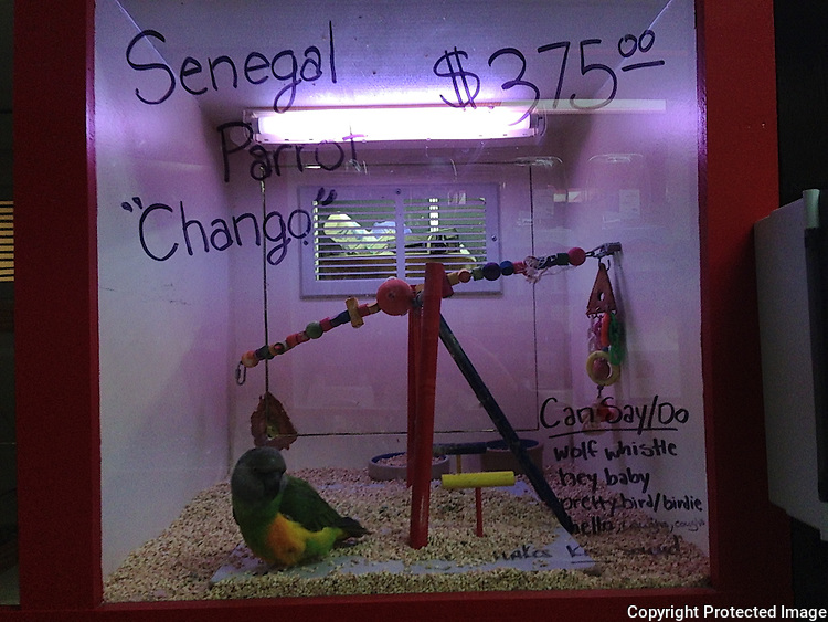 """A Senegal Parrot named """"Chango""""  for sale at a pet store, Maser's Grooming and Pet Boutique, for $375.00 US,in Kenmore, Wash., in November 2013."""