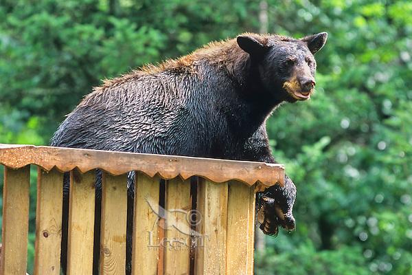 Black Bear (Ursus americanus) resting on deck.  Minnesota.