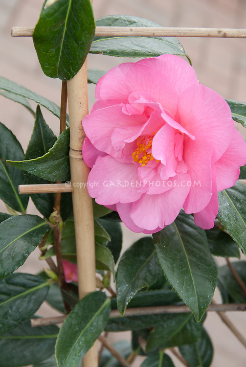 Camellia x williamsii Mary Phoebe Taylor, peony form flower light pink