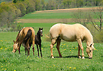 Horses- Mare and Foal