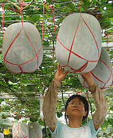 "A scientist looks at Chinese winter melons at the ""Space Breeding Exhibition Yard"" at the Guangdong Academy of agricultural Sciences, 50 miles outside Guangzhou city. Chinese scientists claim that vegetables and fruit cultivated from the space seeds are larger, more nutritious and safe to eat...PHOTO BY SINOPIX"