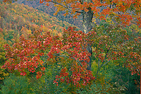 Red maple, Big Witch Gap<br /> Blue Ridge Parkway<br /> Great Smoky Mountains<br /> North Carolina