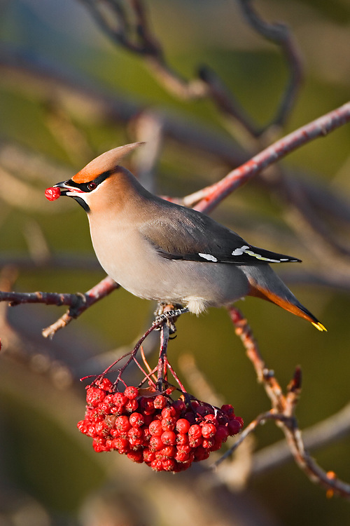 Bohemian Waxwing sitting on the branch of a Mountain Ash tree about to eat a berry