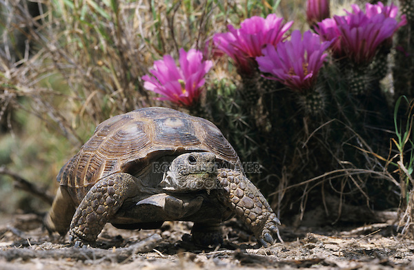 Texas Tortoise, Gopherus berlandieriadult, walking next to Strawberry Hedgehog , May 2002