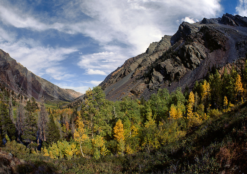ASPENS turn yellow during AUTUMN in LUNDY CANYON - EASTERN SIERRA NEVADA