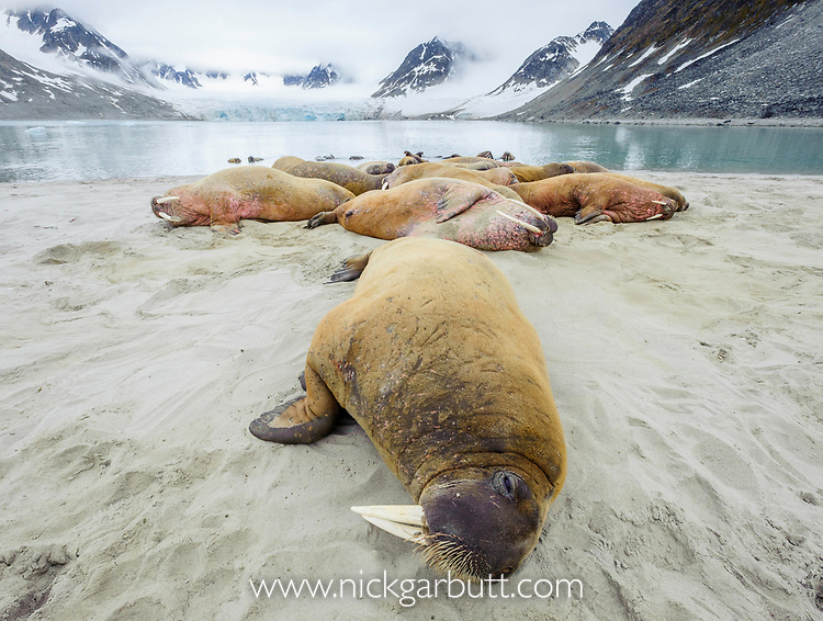 Group of adult walrus (Odobenus rosmarus) hauled out / resting on shore. Northern Spitsbergen, Svalbard, Arctic Norway.