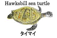 Hawksbill sea turtle- Eretmochelys imbricata . Palau, Micronesia. Illustration